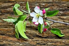 Branch of apple with blossoming blossom. Flower of apple with drops of water. Symbol of spring arrival. Apple tree branch with oak tree flower Royalty Free Stock Image