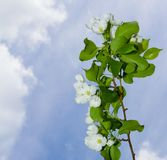 A branch of apple blossoms Stock Photo