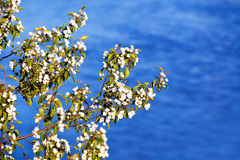 Branch of apple blossoms Stock Photography