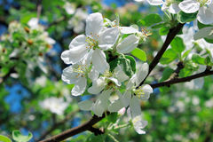 Branch of apple blossoms Royalty Free Stock Image
