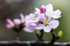 Branch of apple blossoms colorful spring background Stock Photos