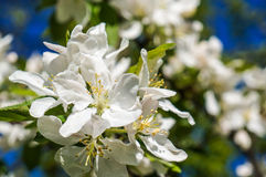 A branch of Apple blossoms in early spring Stock Image