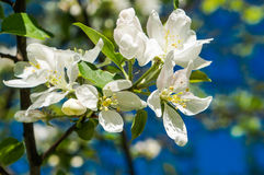 A branch of Apple blossoms in early spring Royalty Free Stock Photos