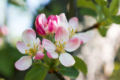 A branch of Apple blossoms in early spring Stock Photos