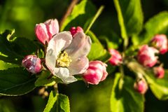 Close-up of apple blossoms in the evening sunshine stock image
