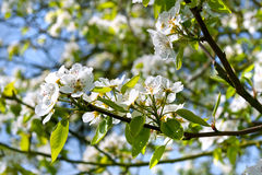 A branch of apple blossoms. Royalty Free Stock Photo
