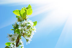 Branch of apple blossoms in the sun Royalty Free Stock Photos