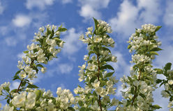 Branch of apple on blue sky with clouds Stock Photos