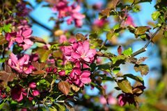 A branch of the apple with flowers on bright blue sky Royalty Free Stock Photo