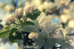 Branch with apple flowers in the flowering period Stock Photo