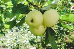 Apple on a branch in a garden early in the morning. Fresh juicy fruits, organic products in the natural setting of the Summer. stock photography