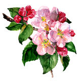 Branch of apple or pear tree blossoms with green leaves and white flowers. Isolated, spring watercolor illustration. On white background Royalty Free Stock Image