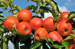 Branch of an apple tree Stock Images