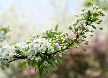 Branch of apple tree Stock Image