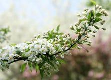 Branch of apple tree Stock Image