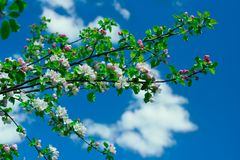 Branch of apple tree Stock Photography