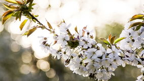 Branch of apple tree against the sunlight bokeh stock footage
