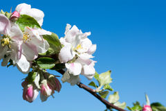 Branch of an apple tree with apple blossoms Stock Images