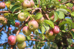 Branch of apple tree with apples. Apple tree branch lit by the sun with lots of fruits on a background of sky Stock Photos