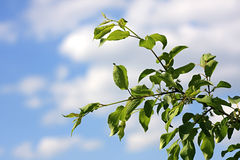 Branch of apple-tree on a background sky. Royalty Free Stock Photos