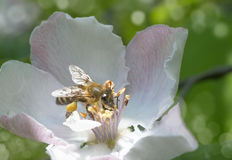 Branch of apple tree in bloom in the spring. Bee flies. Stock Photos