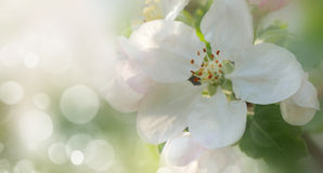 Branch of apple tree in bloom in the spring Stock Photography