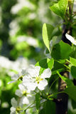Branch of apple tree with blooming flower Stock Photography