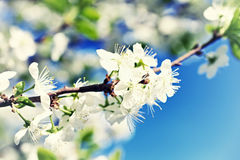 Branch of apple tree with blooming flowers Royalty Free Stock Images