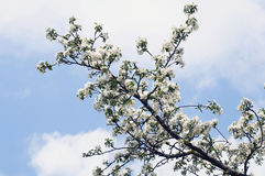 A branch apple tree blooming Stock Photo