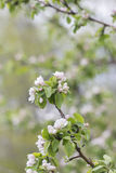 Branch of apple tree blossom Stock Images
