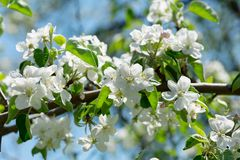 Branch of apple tree blossom. White flowers on a tree stock image