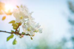 Branch of apple-tree with blossoming flovers Royalty Free Stock Images