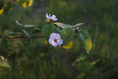 A branch of an apple tree with blossoming flowers on the backgro. Und of a young green grass Royalty Free Stock Photos