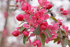 Branch of apple tree blossoming Stock Images