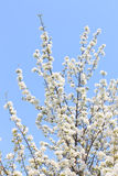 Branch apple tree blossoms in spring Stock Photography