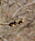 branch of apple tree with buds in springtime Royalty Free Stock Images