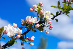 Branch Apple tree with flowers on background of blue sky. Stock Photo