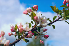 Branch Apple tree with flowers on background of blue sky. Royalty Free Stock Images