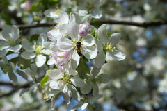Branch with apple tree flowers and bee in spring Stock Photo