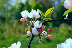 Branch Apple tree with flowers . Royalty Free Stock Image