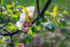 Branch Apple tree with flowers . Stock Photo