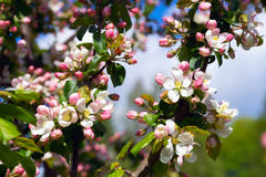 Branch Apple tree with flowers . Stock Images