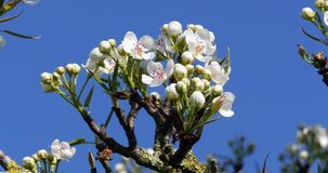 Branch of Apple Tree in Flowers, Normandy,. Real Time 4K stock video