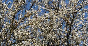 Branch of Apple Tree in Flowers, Normandy,. Real Time 4K stock footage