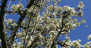 Branch of Apple Tree in Flowers, Normandy,. Real Time 4K stock video footage