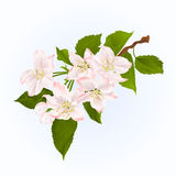 Branch of apple tree with flowers spring background vintage vector Royalty Free Stock Photo