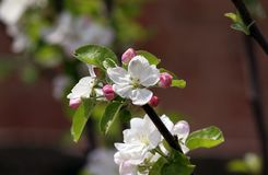 A branch of an apple tree with flowers stock image