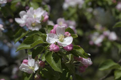 Branch of an apple tree Royalty Free Stock Photo