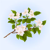 Branch of apple tree with flowers vector Royalty Free Stock Image