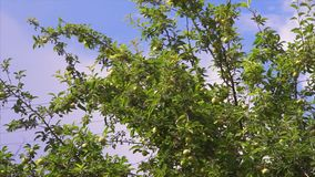 Branch of Apple tree stock video footage